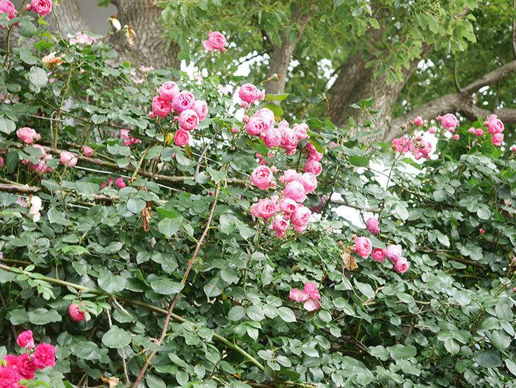 ポンポネッラ(Pomponella)の花がたくさん咲いた。ツルバラ。2021年-046.jpg