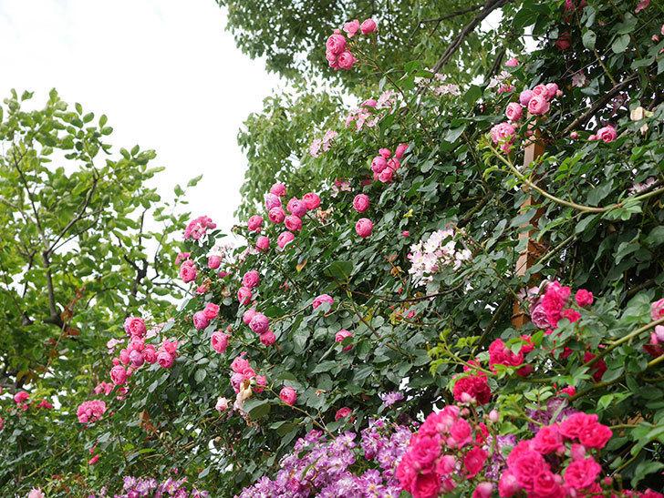 ポンポネッラ(Pomponella)の花がたくさん咲いた。ツルバラ。2021年-047.jpg