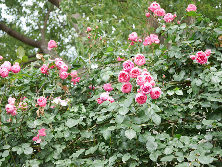ポンポネッラ(Pomponella)の花がたくさん咲いた。ツルバラ。2021年-048.jpg