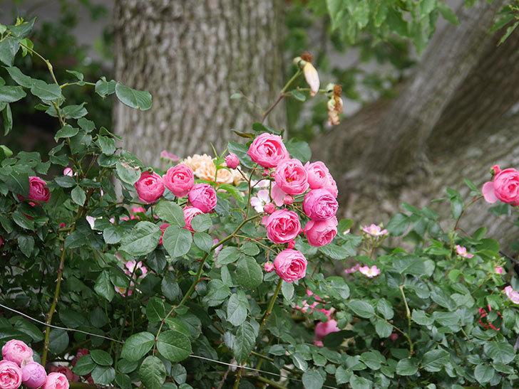 ポンポネッラ(Pomponella)の花がたくさん咲いた。ツルバラ。2021年-049.jpg