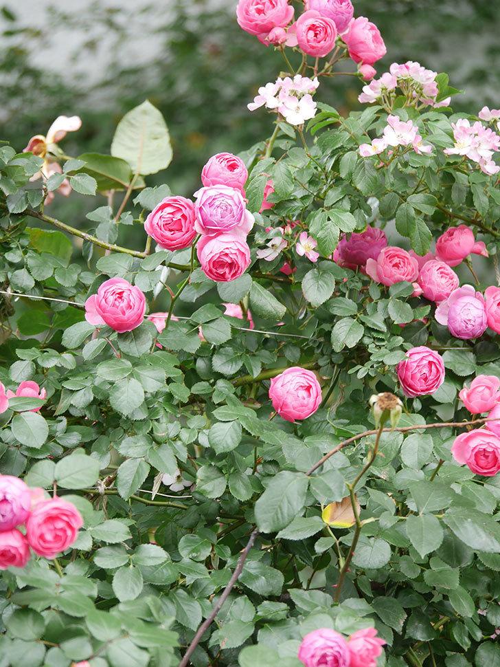 ポンポネッラ(Pomponella)の花がたくさん咲いた。ツルバラ。2021年-050.jpg