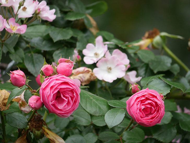 ポンポネッラ(Pomponella)の花がたくさん咲いた。ツルバラ。2021年-055.jpg