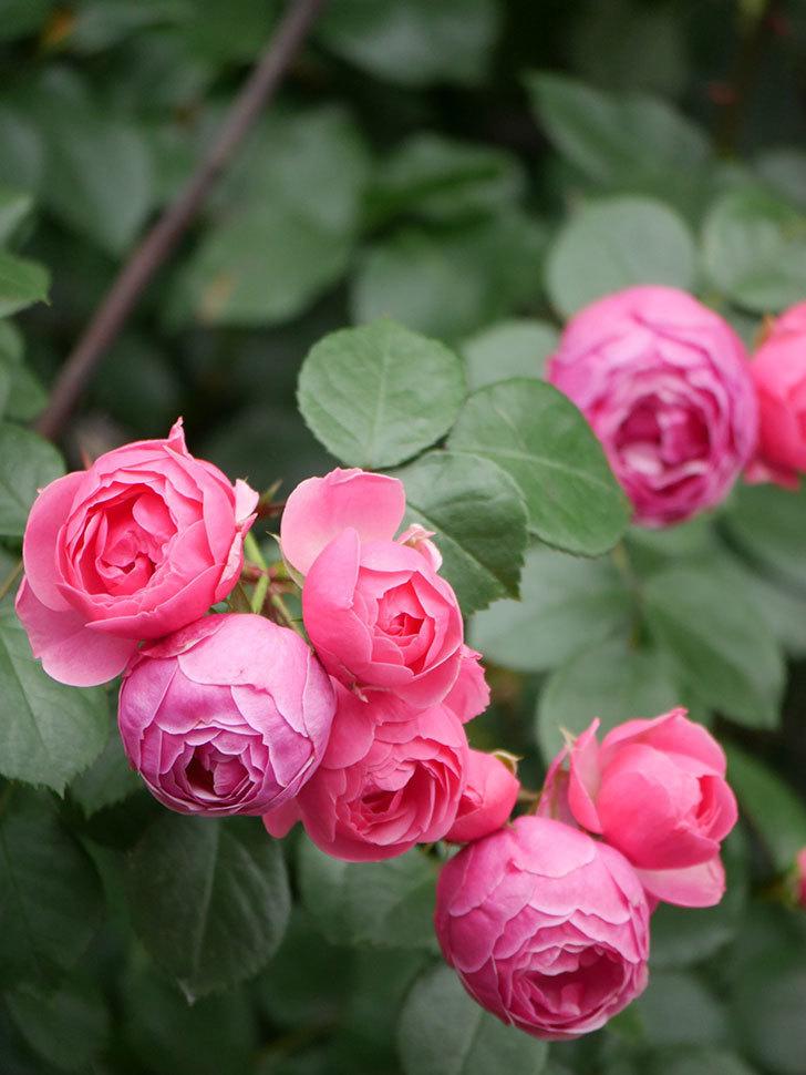 ポンポネッラ(Pomponella)の花がたくさん咲いた。ツルバラ。2021年-058.jpg
