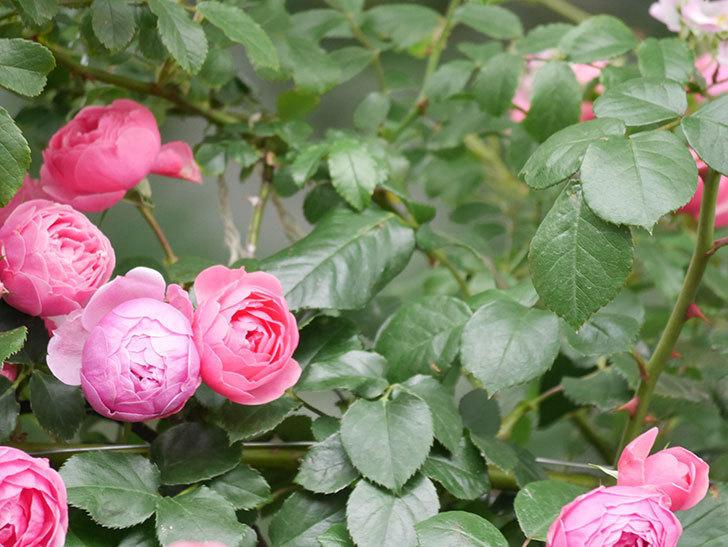ポンポネッラ(Pomponella)の花がたくさん咲いた。ツルバラ。2021年-063.jpg