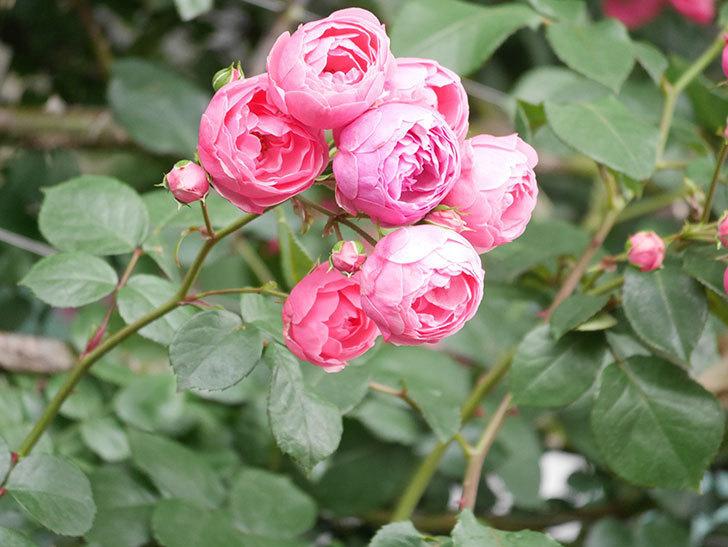 ポンポネッラ(Pomponella)の花がたくさん咲いた。ツルバラ。2021年-064.jpg