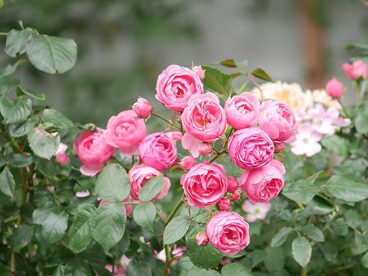 ポンポネッラ(Pomponella)の花がたくさん咲いた。ツルバラ。2021年-066.jpg