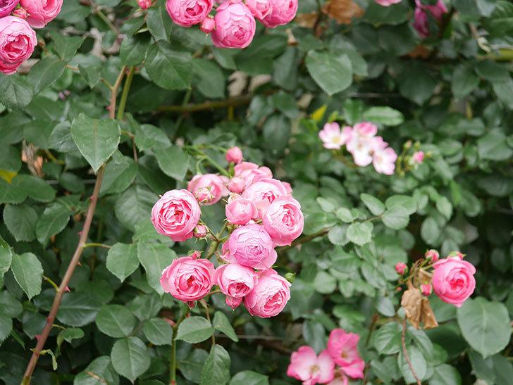 ポンポネッラ(Pomponella)の花がたくさん咲いた。ツルバラ。2021年-068.jpg