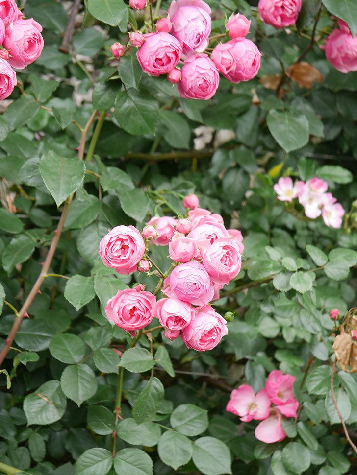ポンポネッラ(Pomponella)の花がたくさん咲いた。ツルバラ。2021年-069.jpg