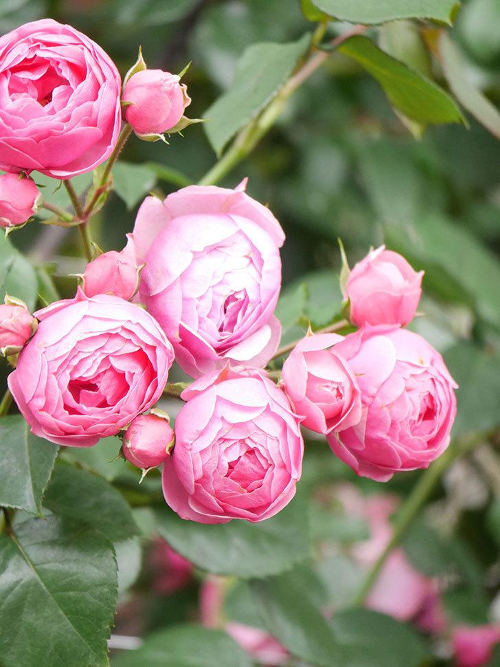 ポンポネッラ(Pomponella)の花がたくさん咲いた。ツルバラ。2021年-078.jpg