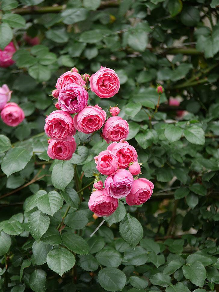 ポンポネッラ(Pomponella)の花がたくさん咲いた。ツルバラ。2021年-080.jpg