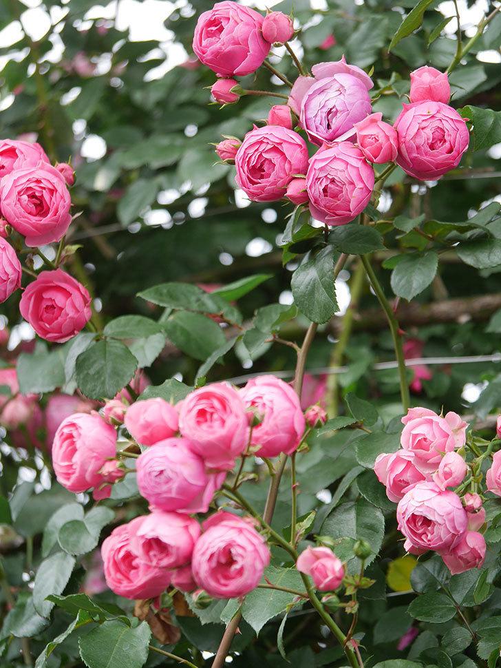ポンポネッラ(Pomponella)の花がたくさん咲いた。ツルバラ。2021年-084.jpg