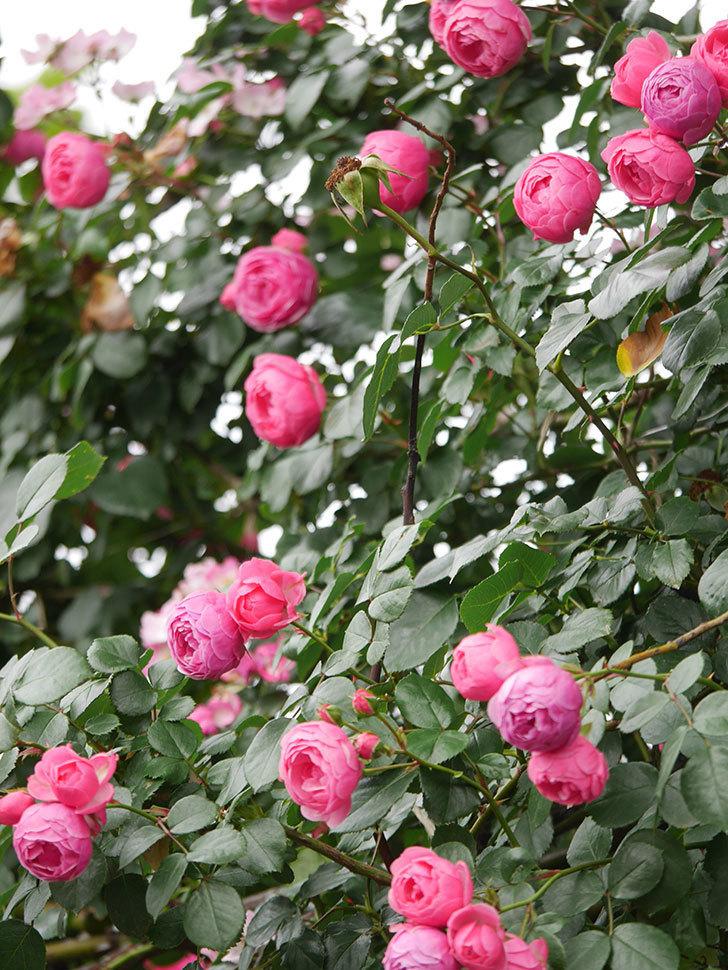 ポンポネッラ(Pomponella)の花がたくさん咲いた。ツルバラ。2021年-085.jpg