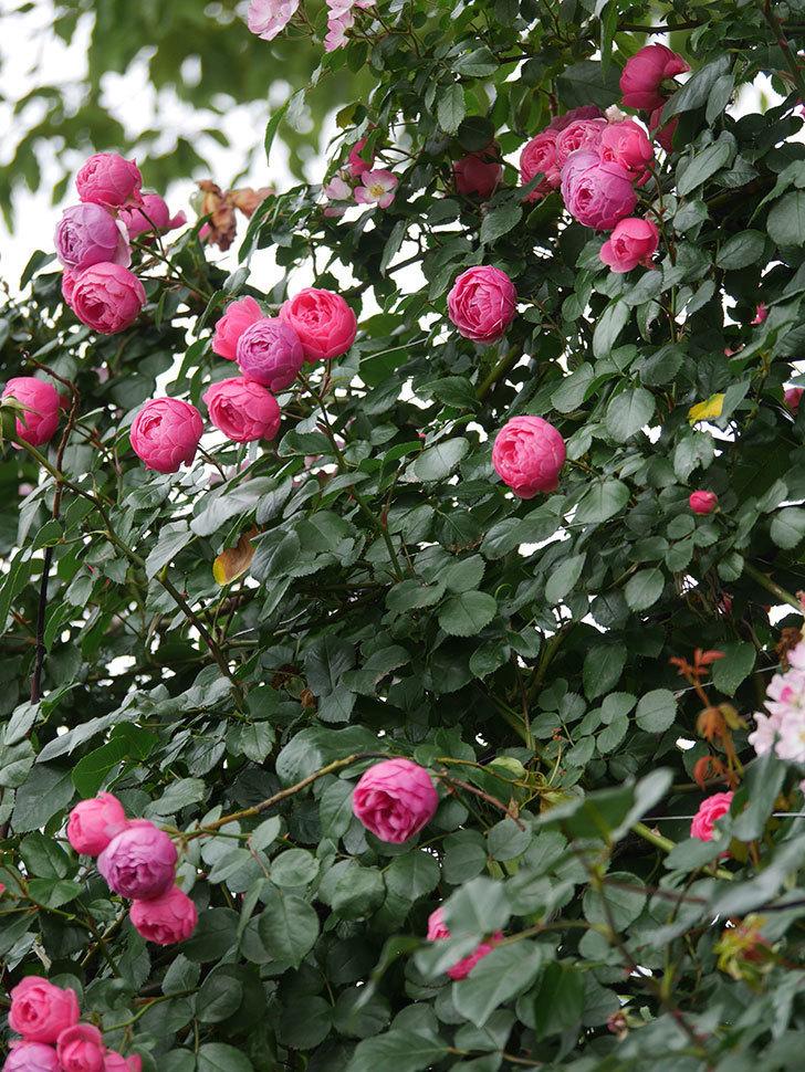 ポンポネッラ(Pomponella)の花がたくさん咲いた。ツルバラ。2021年-086.jpg