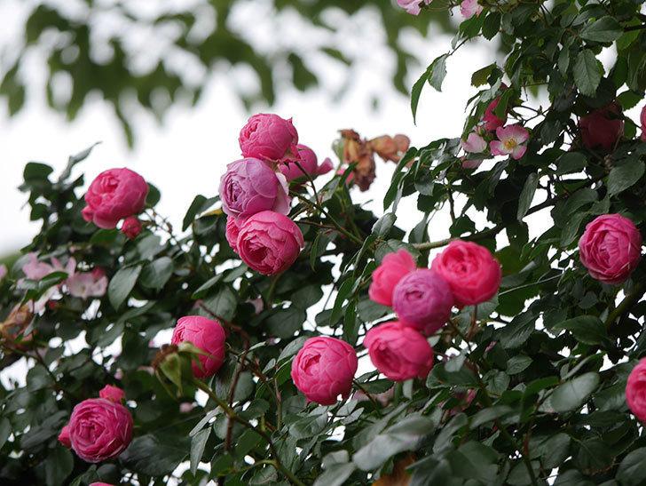 ポンポネッラ(Pomponella)の花がたくさん咲いた。ツルバラ。2021年-087.jpg
