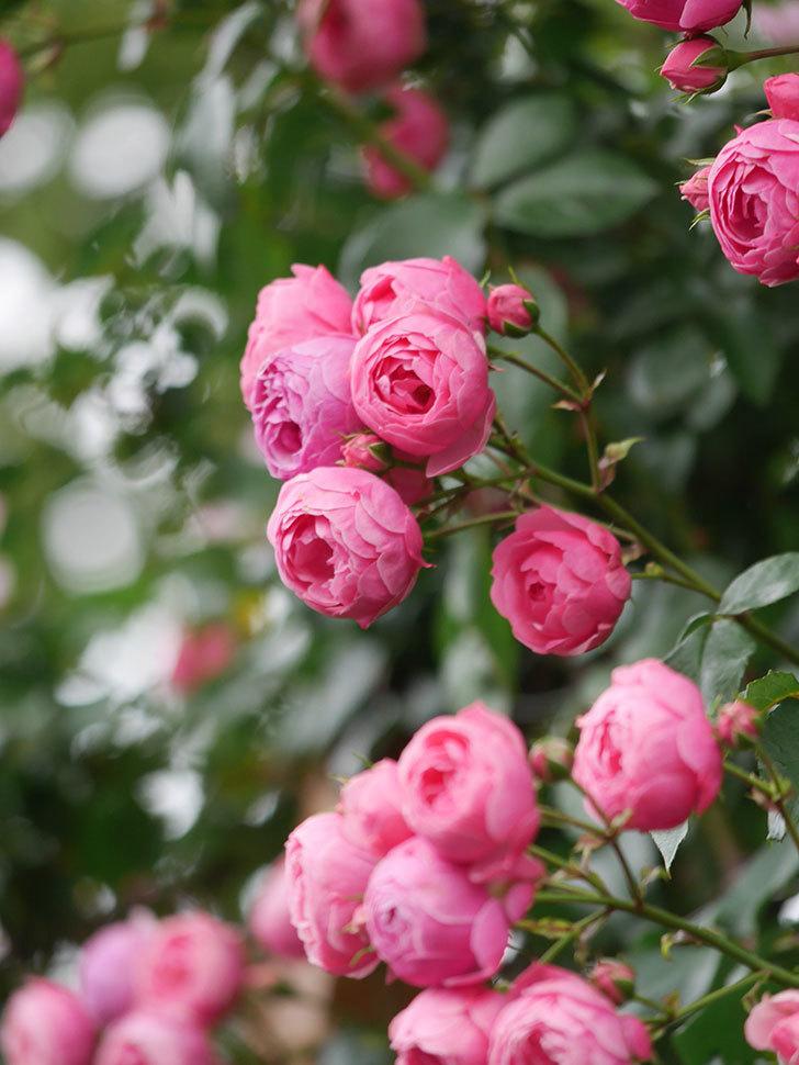 ポンポネッラ(Pomponella)の花がたくさん咲いた。ツルバラ。2021年-094.jpg