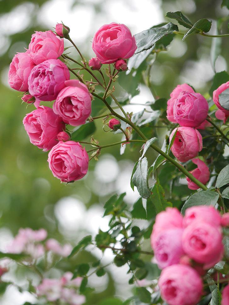 ポンポネッラ(Pomponella)の花がたくさん咲いた。ツルバラ。2021年-095.jpg