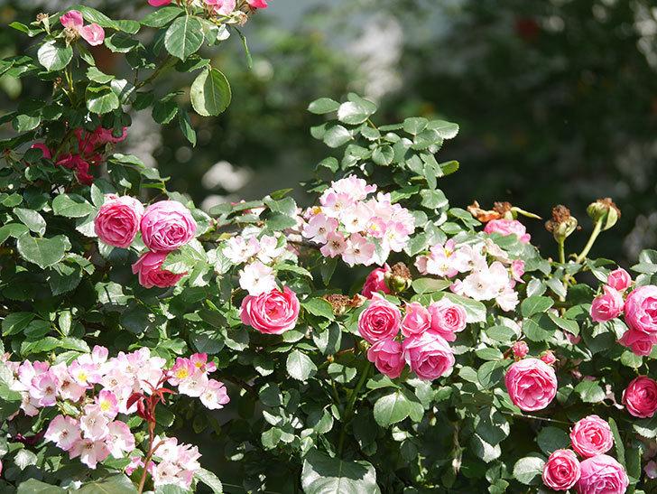 ポンポネッラ(Pomponella)の花がたくさん咲いた。ツルバラ。2021年-096.jpg