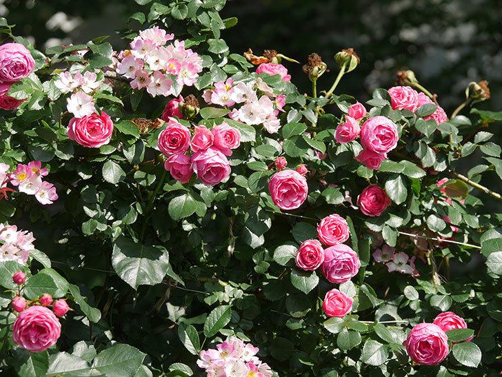 ポンポネッラ(Pomponella)の花がたくさん咲いた。ツルバラ。2021年-097.jpg