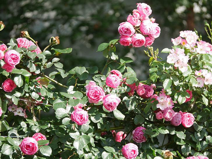ポンポネッラ(Pomponella)の花がたくさん咲いた。ツルバラ。2021年-098.jpg