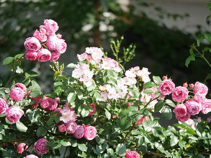 ポンポネッラ(Pomponella)の花がたくさん咲いた。ツルバラ。2021年-099.jpg