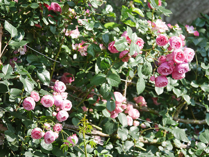 ポンポネッラ(Pomponella)の花がたくさん咲いた。ツルバラ。2021年-100.jpg