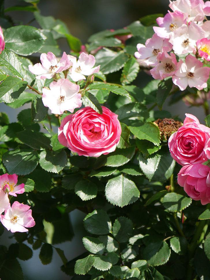 ポンポネッラ(Pomponella)の花がたくさん咲いた。ツルバラ。2021年-101.jpg