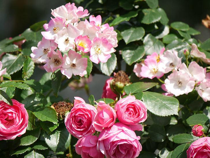 ポンポネッラ(Pomponella)の花がたくさん咲いた。ツルバラ。2021年-102.jpg