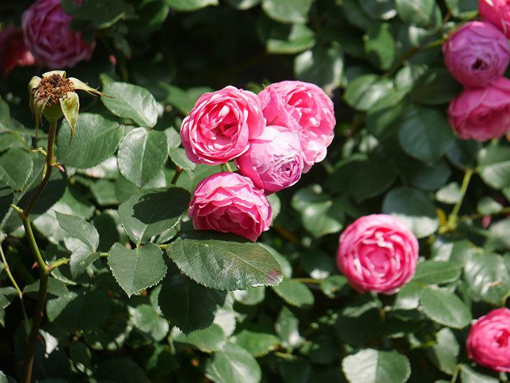 ポンポネッラ(Pomponella)の花がたくさん咲いた。ツルバラ。2021年-105.jpg