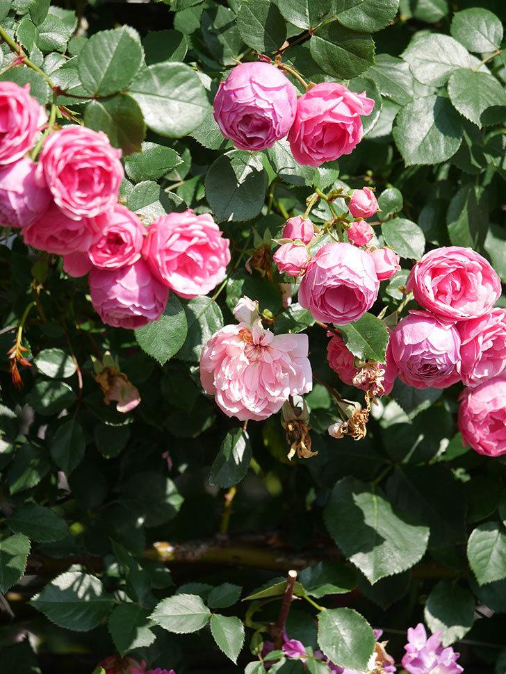 ポンポネッラ(Pomponella)の花がたくさん咲いた。ツルバラ。2021年-108.jpg