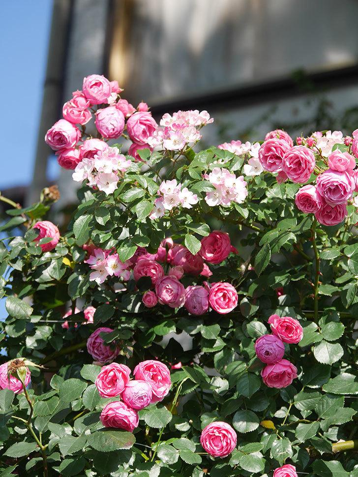 ポンポネッラ(Pomponella)の花がたくさん咲いた。ツルバラ。2021年-109.jpg