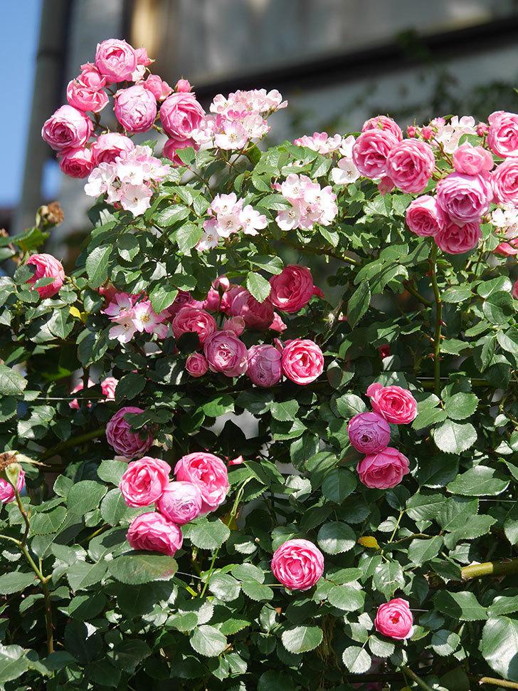 ポンポネッラ(Pomponella)の花がたくさん咲いた。ツルバラ。2021年-110.jpg