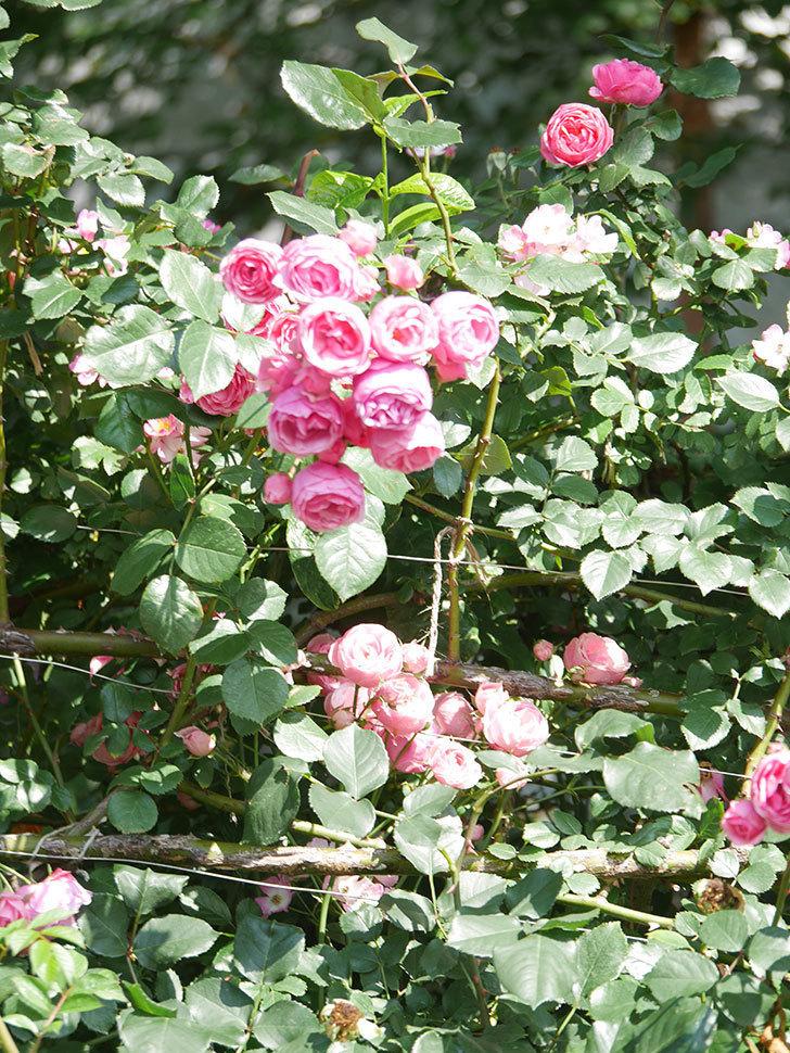 ポンポネッラ(Pomponella)の花がたくさん咲いた。ツルバラ。2021年-111.jpg