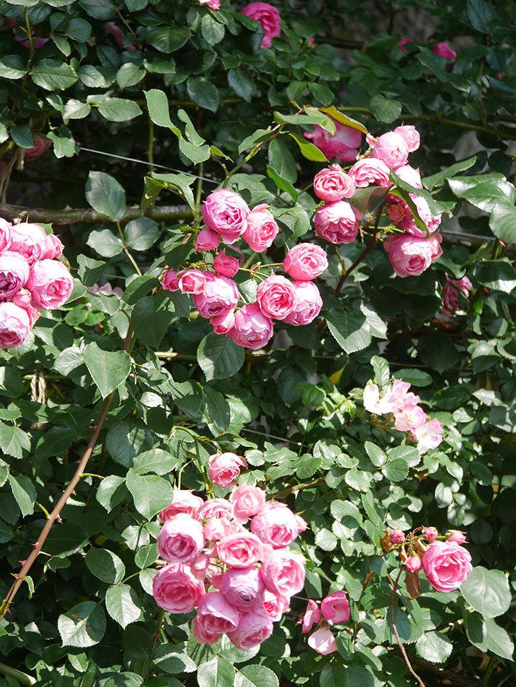 ポンポネッラ(Pomponella)の花がたくさん咲いた。ツルバラ。2021年-112.jpg