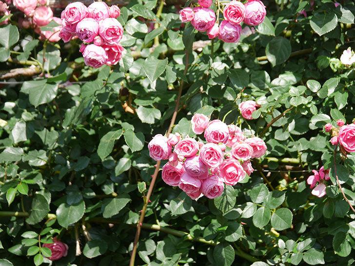 ポンポネッラ(Pomponella)の花がたくさん咲いた。ツルバラ。2021年-113.jpg