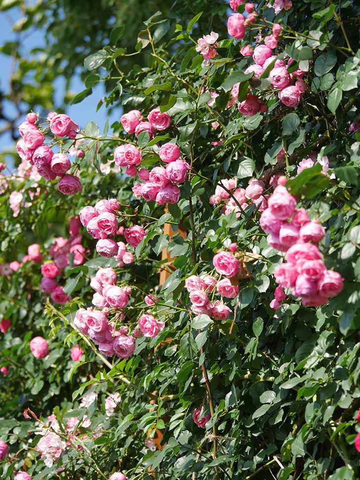 ポンポネッラ(Pomponella)の花がたくさん咲いた。ツルバラ。2021年-119.jpg