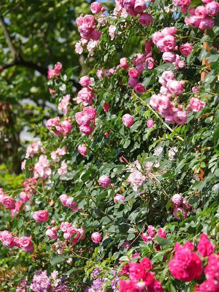 ポンポネッラ(Pomponella)の花がたくさん咲いた。ツルバラ。2021年-120.jpg