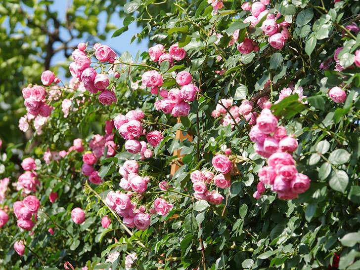ポンポネッラ(Pomponella)の花がたくさん咲いた。ツルバラ。2021年-121.jpg
