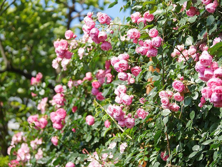 ポンポネッラ(Pomponella)の花がたくさん咲いた。ツルバラ。2021年-122.jpg