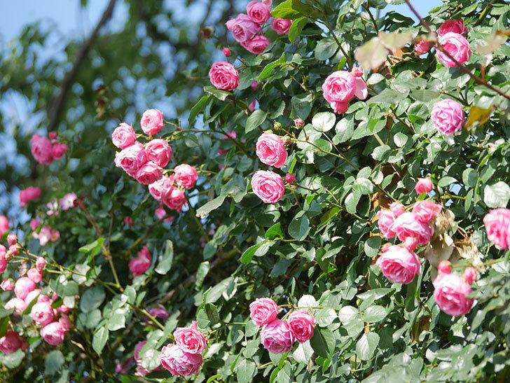 ポンポネッラ(Pomponella)の花がたくさん咲いた。ツルバラ。2021年-123.jpg