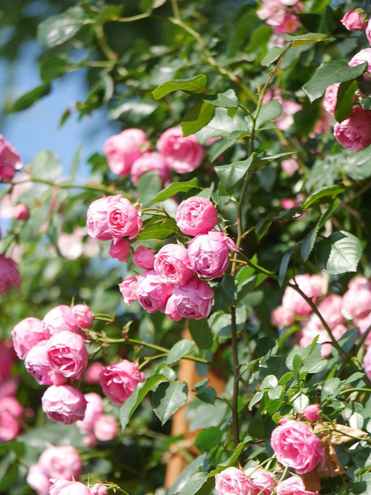 ポンポネッラ(Pomponella)の花がたくさん咲いた。ツルバラ。2021年-126.jpg