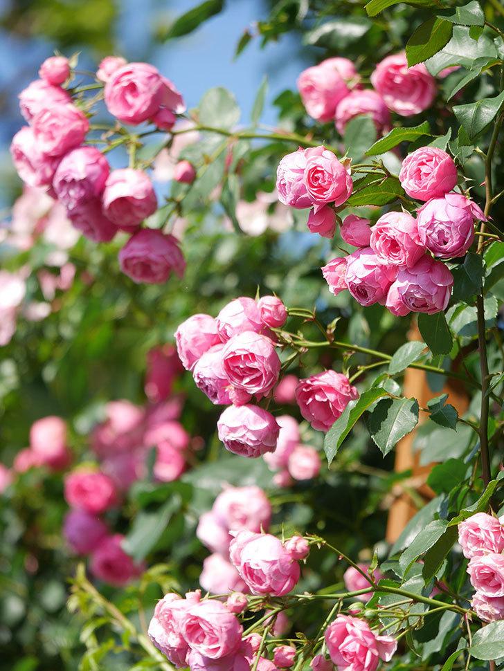ポンポネッラ(Pomponella)の花がたくさん咲いた。ツルバラ。2021年-127.jpg