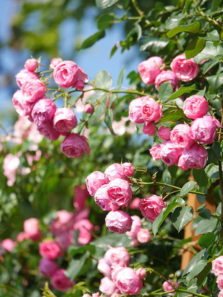 ポンポネッラ(Pomponella)の花がたくさん咲いた。ツルバラ。2021年-128.jpg