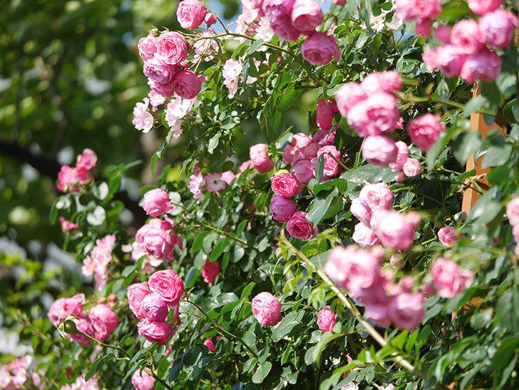 ポンポネッラ(Pomponella)の花がたくさん咲いた。ツルバラ。2021年-129.jpg
