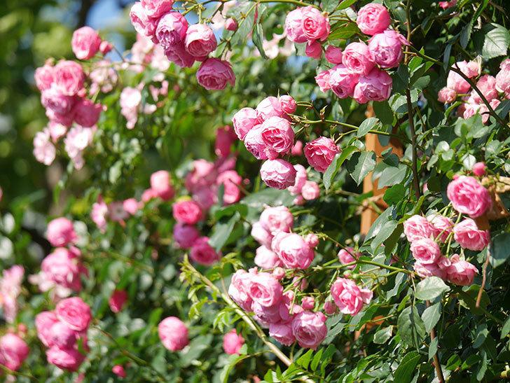 ポンポネッラ(Pomponella)の花がたくさん咲いた。ツルバラ。2021年-130.jpg