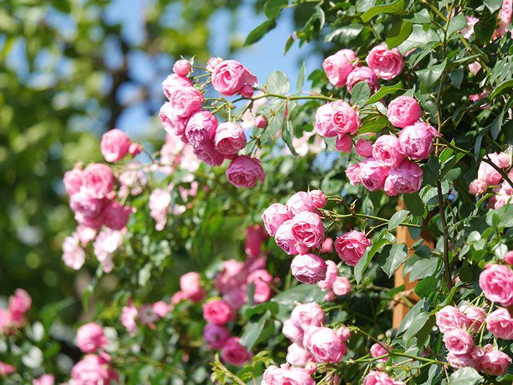 ポンポネッラ(Pomponella)の花がたくさん咲いた。ツルバラ。2021年-131.jpg