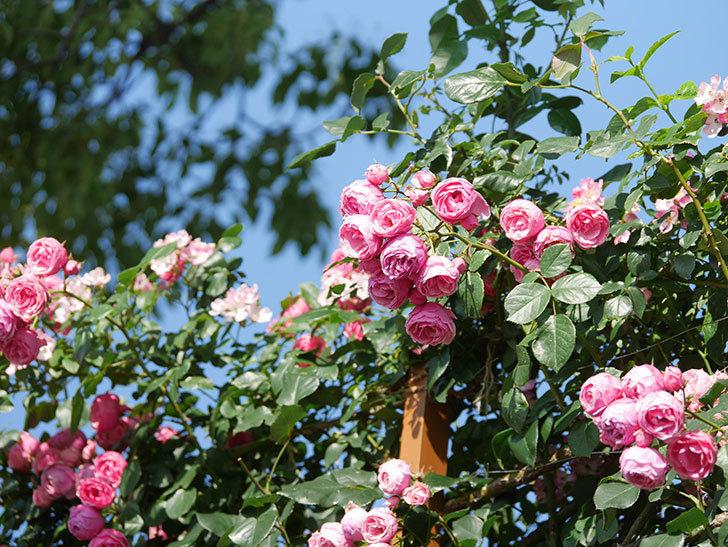 ポンポネッラ(Pomponella)の花がたくさん咲いた。ツルバラ。2021年-132.jpg