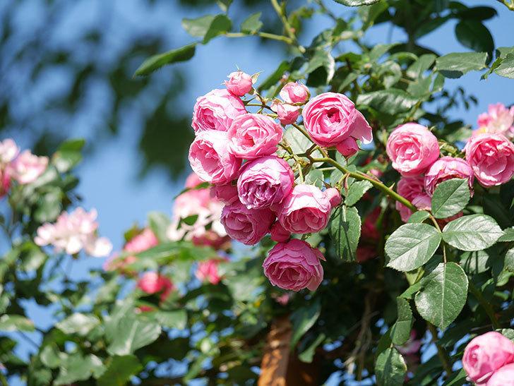ポンポネッラ(Pomponella)の花がたくさん咲いた。ツルバラ。2021年-133.jpg