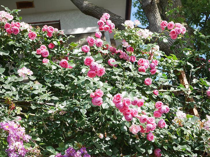 ポンポネッラ(Pomponella)の花がたくさん咲いた。ツルバラ。2021年-134.jpg