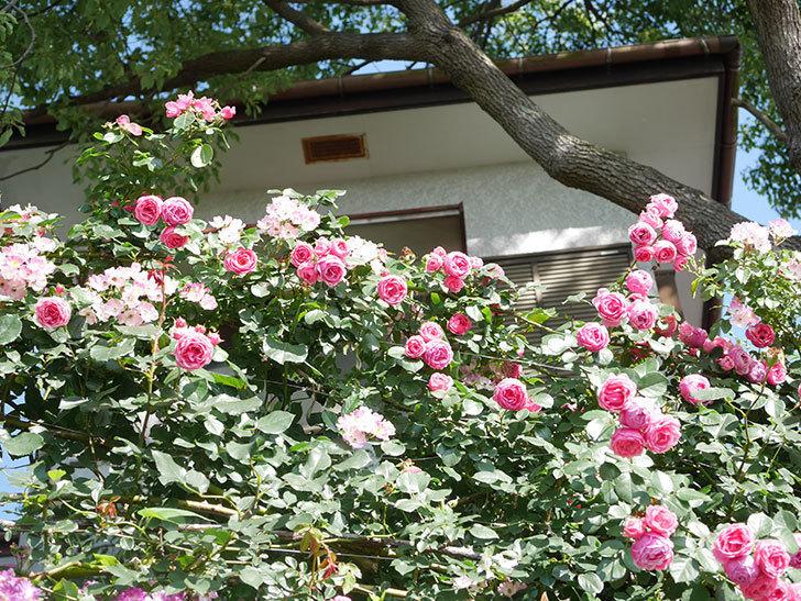 ポンポネッラ(Pomponella)の花がたくさん咲いた。ツルバラ。2021年-135.jpg