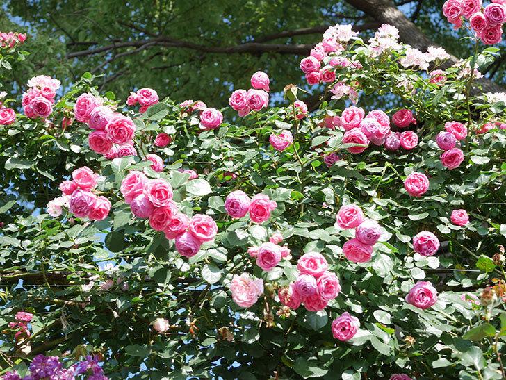 ポンポネッラ(Pomponella)の花がたくさん咲いた。ツルバラ。2021年-136.jpg